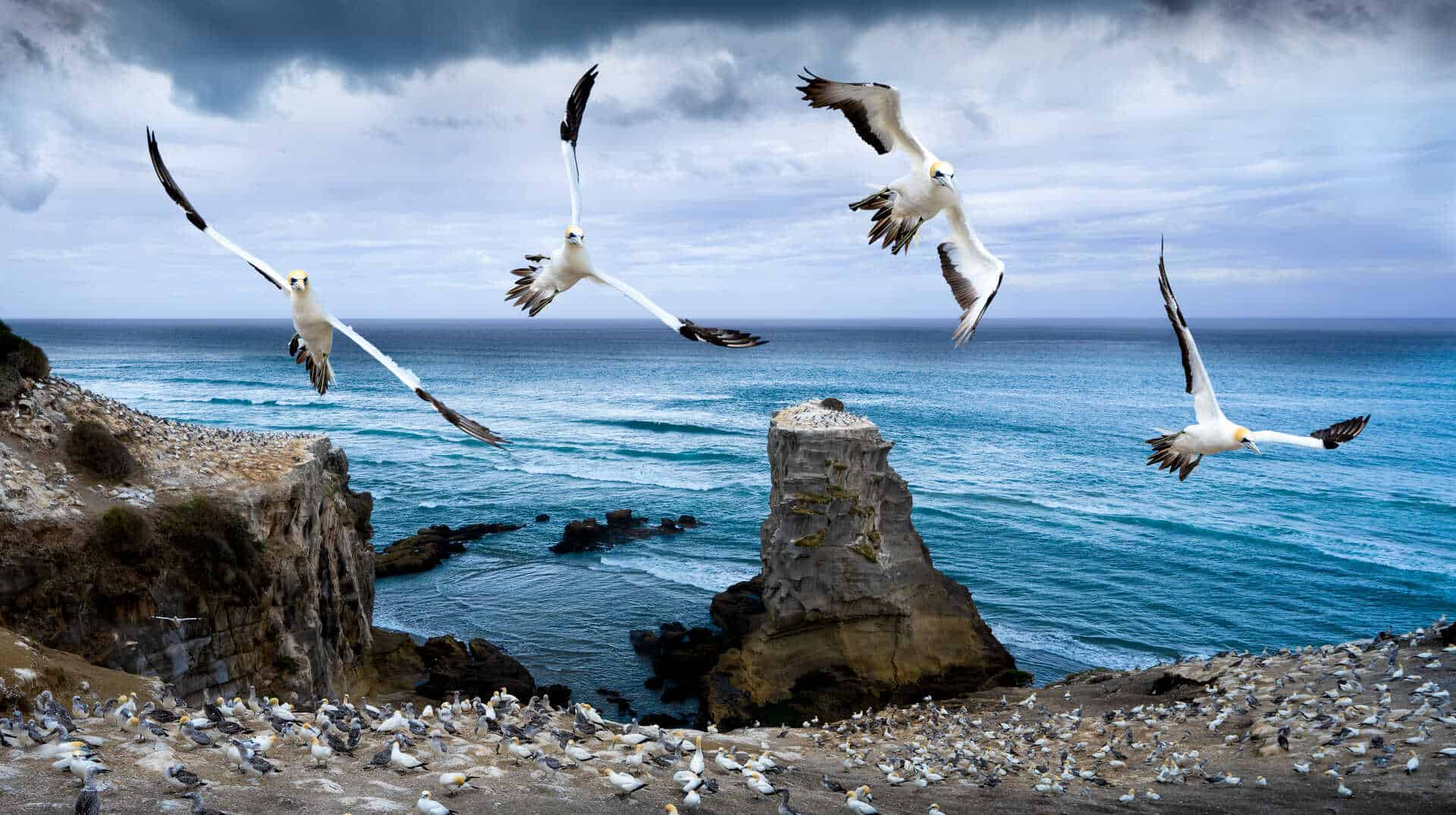 Gannet Colony - Muriwai, Auckland, New Zealand