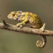 Chameleon, Old World lizards, Tanzania