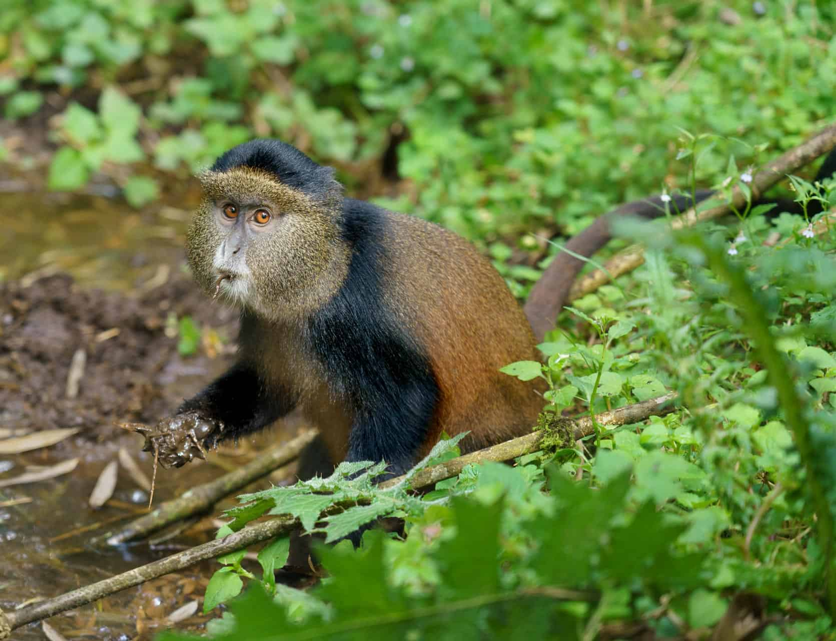 Golden Monkey, Volcanoes National Park, Rwanda