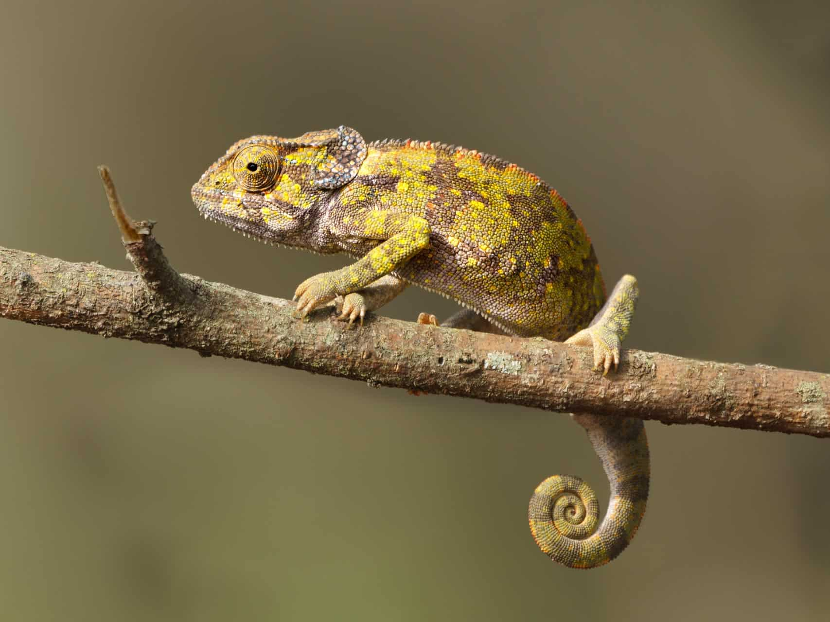 Chameleon, Old World lizards, Tanzania
